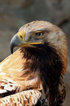 Águila ibérica