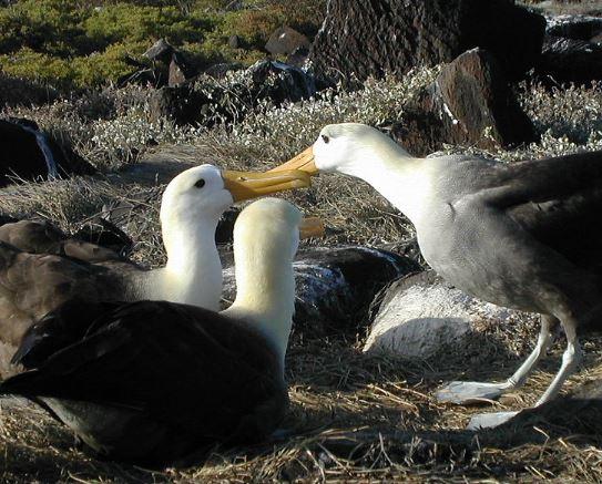 Albatros galápagos