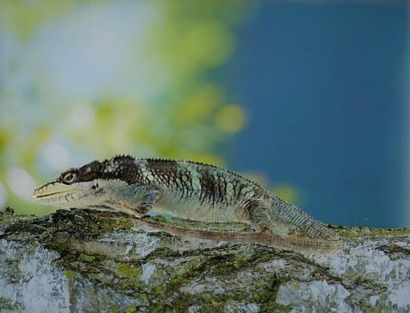 Camaleón de Cundinamarca en rama