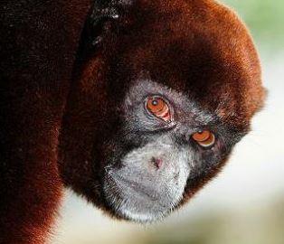 Cabeza del Mono Choro