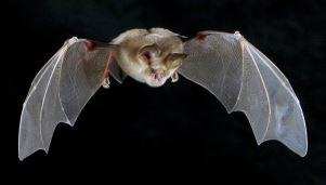Murciélago de Herradura volando
