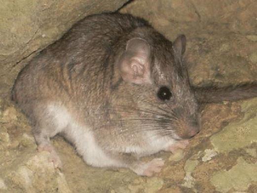 Rata Chinchilla Boliviana en una cueva