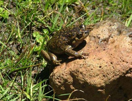 Sapo de Pcho Espinoso en una roca