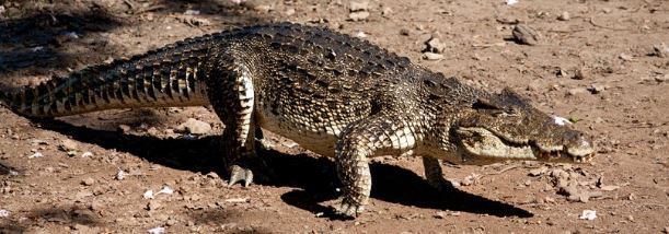 Crocodylus rhombifer