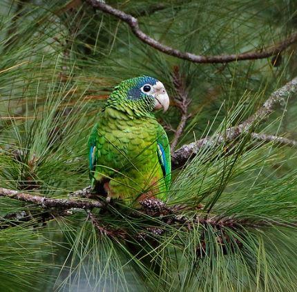 Amazona ventralis en un árbol