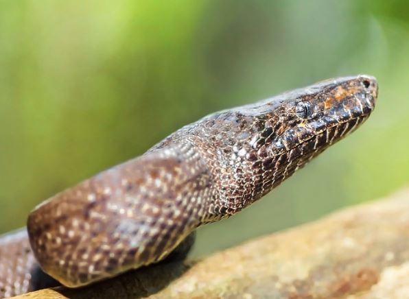 Chilabothrus inornatus