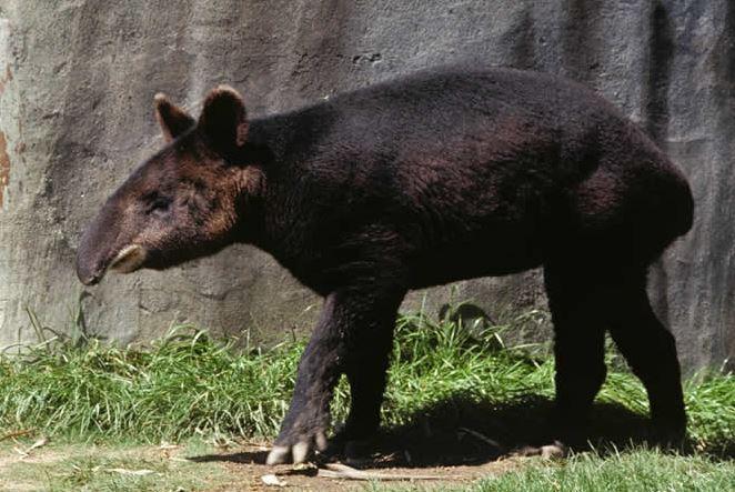 Tapirus pinchaque