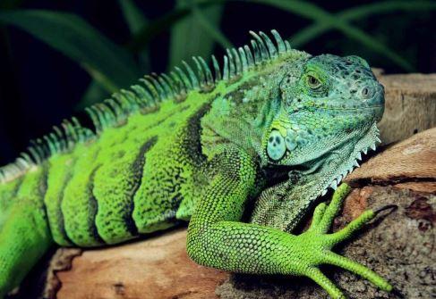 Iguana Verde tumbada en una piedra