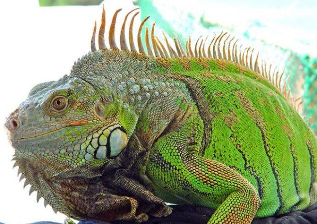 Primer plano de Iguana común
