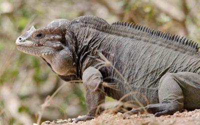 Iguana de Mona