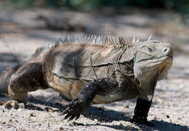 Iguana de Ricord caminando