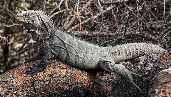 Iguana de Ricord tumbada