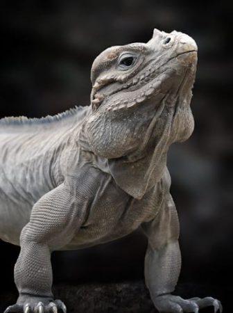 Primer plano de la Iguana Rinoceronte