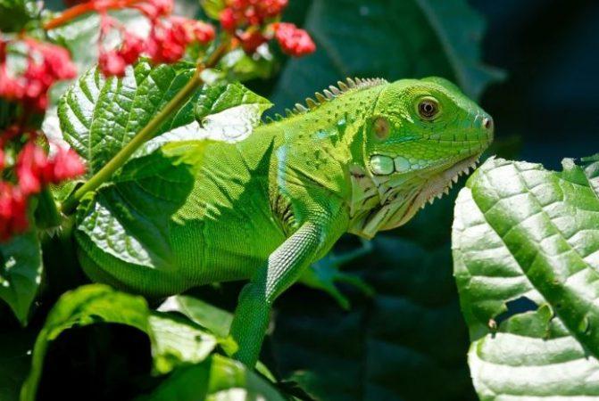 Iguana tomando el sol
