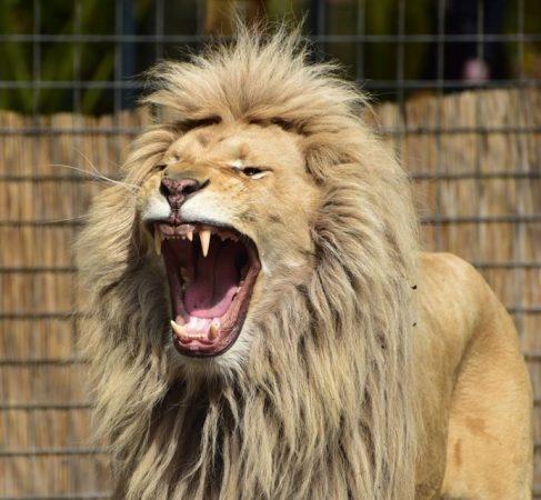 León del Atlas con la boca abierta