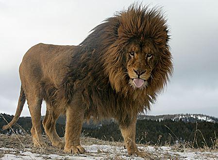 Panthera leo leo caminando