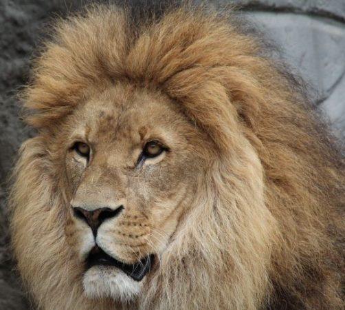 Cabeza de el León del Atlas