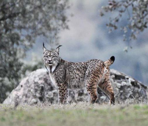 Lynx pardinus en la montaña