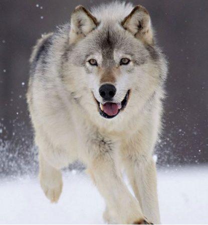 Canis lupus corriendo