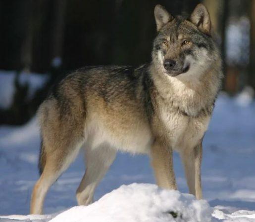 Lobo Gris en la nieve