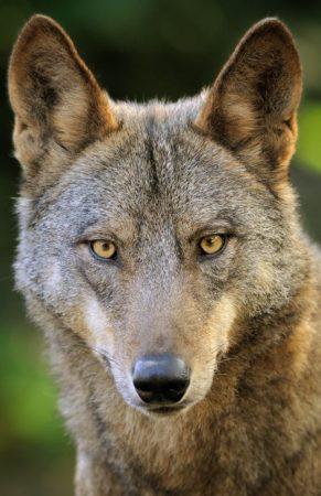Cabeza de el Lobo Italico