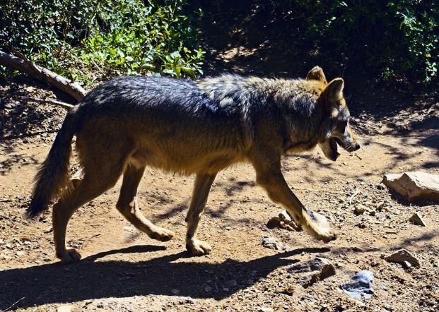 Canis lupus baileyi paseando