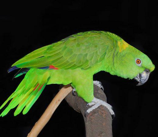 Amazona de Nuca Amarilla en un palo