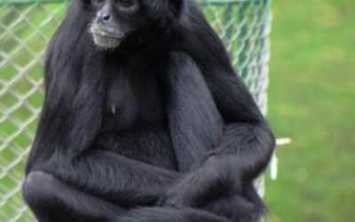 Mono Araña de Cabeza Negra