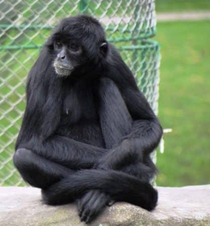 Mono Araña de Cabeza Negra sentado