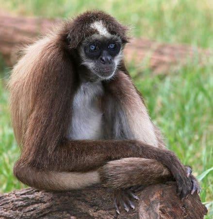 Mono Araña sentado