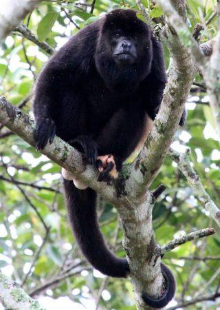 Aullador Negro en un árbol