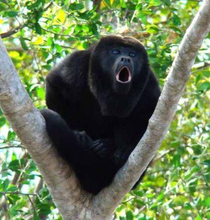 Primer plano de el Mono Congo