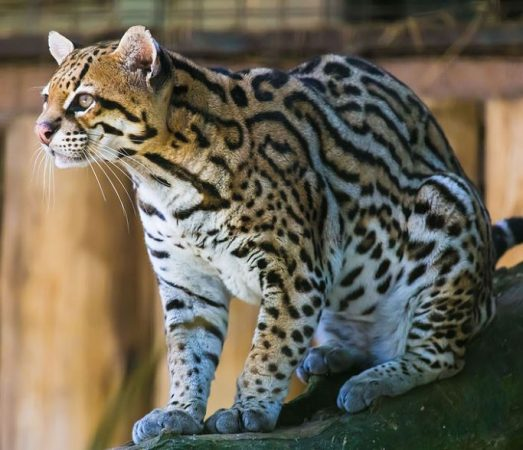 Primer plano del Leopardus pardalis