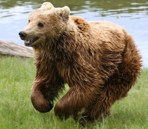 Ursus arctos corriendo