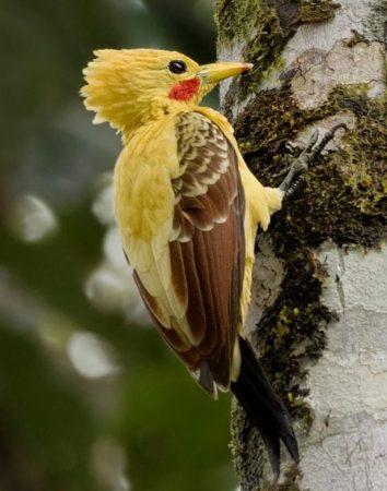 Pájaro Carpintero Amarillo trepando
