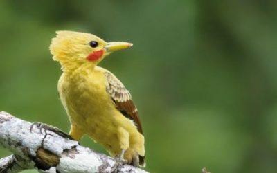 Pájaro Carpintero Amarillo