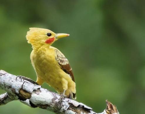 Pájaro Carpintero en un árbol