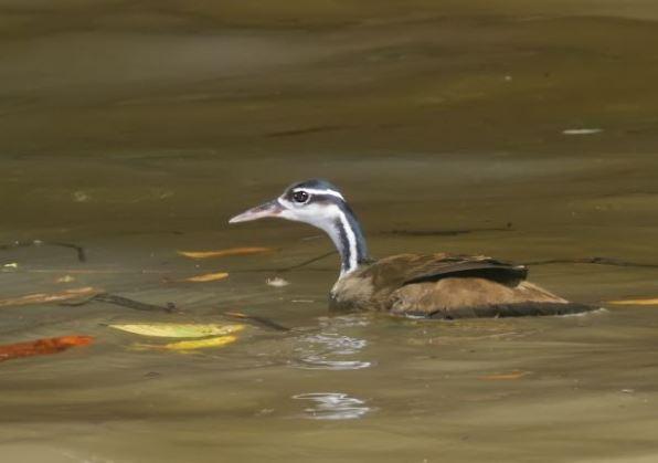 Pájaro Cantil en el agua