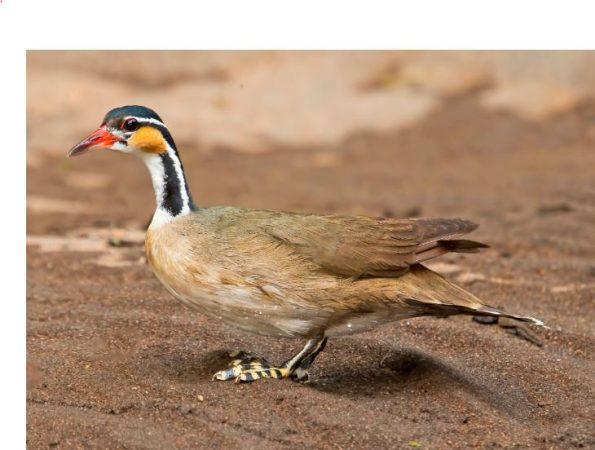 Primer plano del Heliornis fulica
