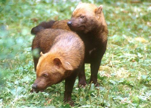 Speothos venaticus en pareja