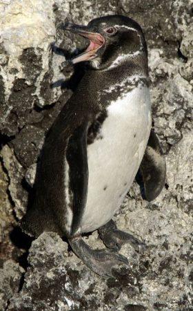 Spheniscus mendiculus en una roca