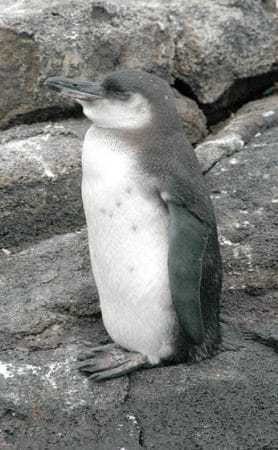 Primer plano del Pingüino de las Galápagos