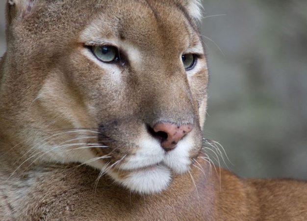 Cabeza de el Puma