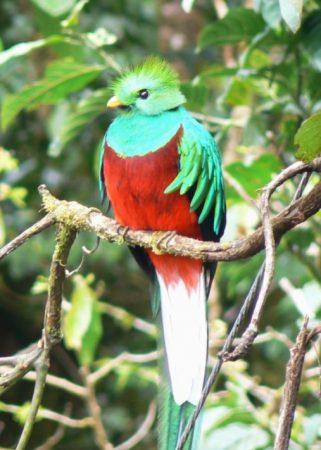 El Quetzal en un árbol