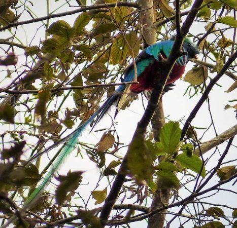 Quetzal en los árboles