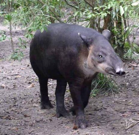 Tapir caminando