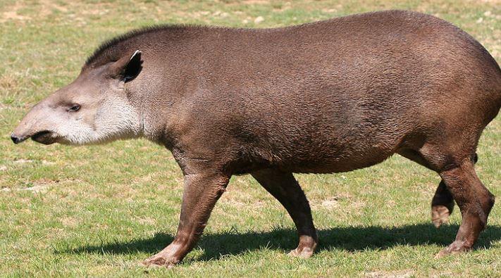 Tapir tomando en sol