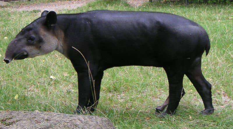 Tapir Centroamericano en el campo