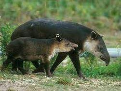 Tapirus bairdii con su cría