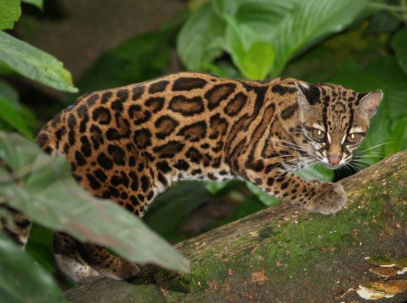 Leopardus tigrinus en el campo